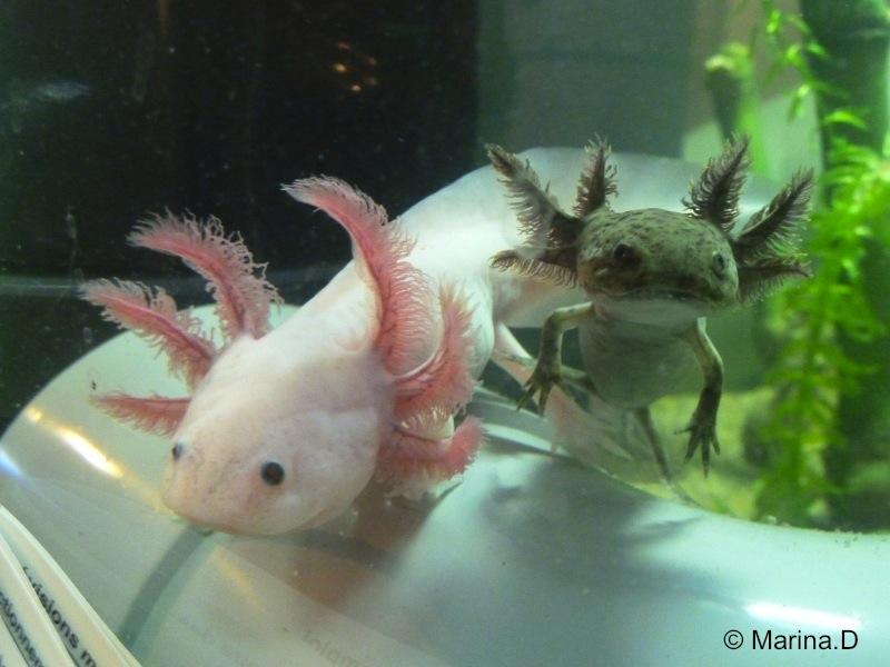 axolotl evolutionary adaptations essay