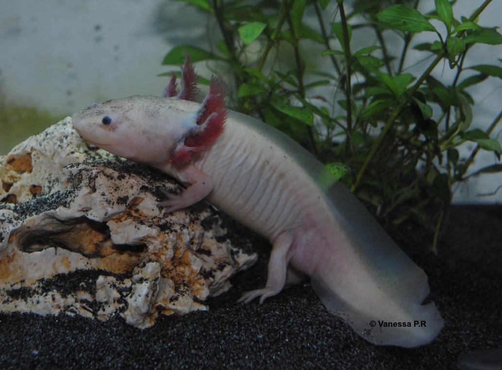 "Que veut dire le mot ""Axolotl"" ?"