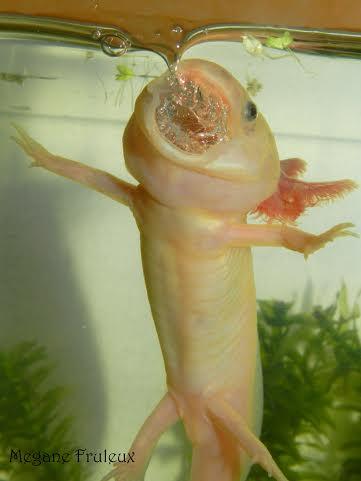 Comment l'Axolotl respire-t-il ?