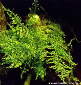 Vesicularia dubyana 1