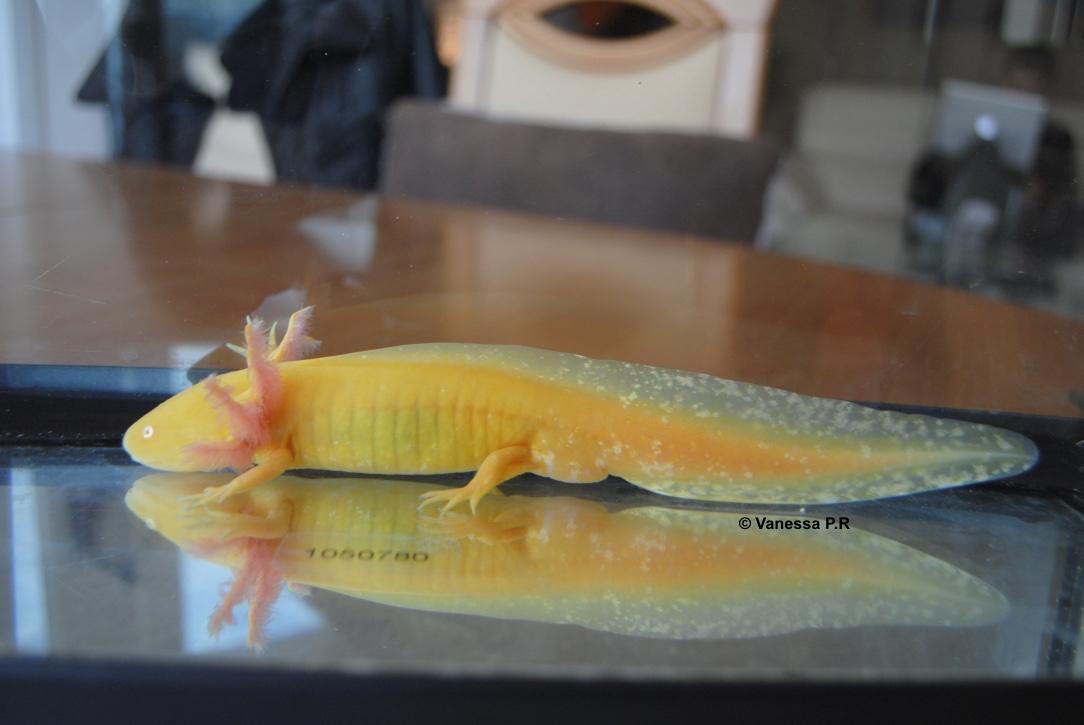Quelle est la taille adulte de l'Axolotl ?