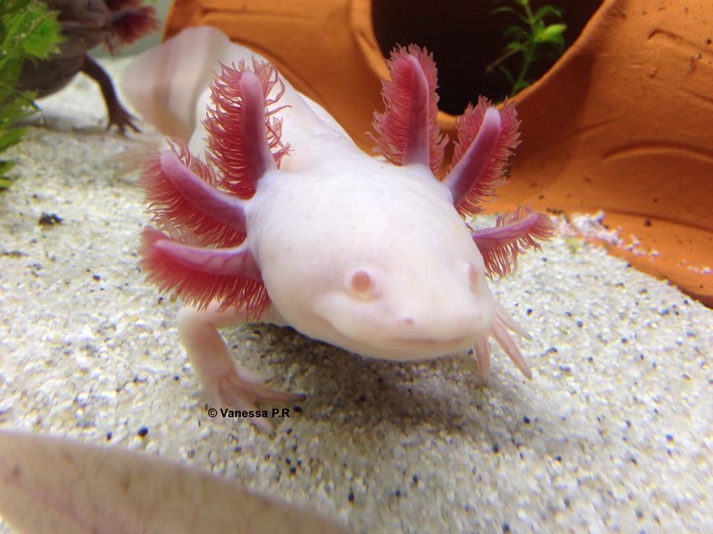De quelle famille l'Axolotl fait-il partie ?